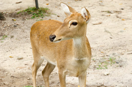 Deer on green grass in a zoo, Chonburi, Thailand.