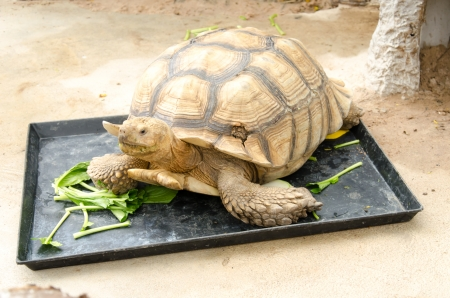 herpetology: A large the golden turtle eating a vegetables.
