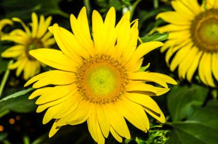 close range: Beautiful yellow sunflower was shot at close range.