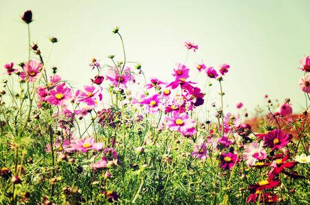 jardines flores: Jardines de flores japoneses plantaron en la provincia de Ibaraki. Vintage
