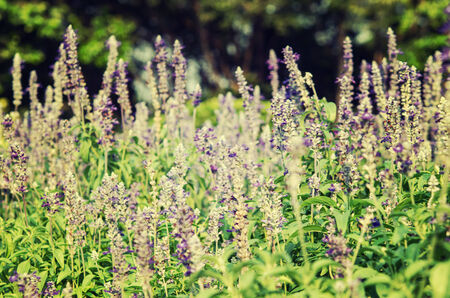 herbaceous  plant: It is a herbaceous plant fragrant purple flowers.