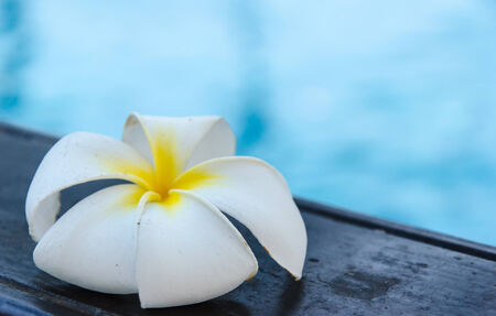 White Plumeria flower placed beside the pool. Stock Photo