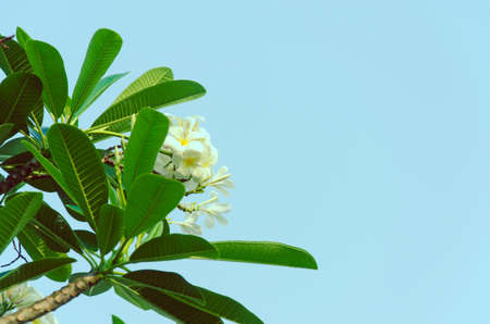 The Leelawadee or frangipani tree is vintage. photo