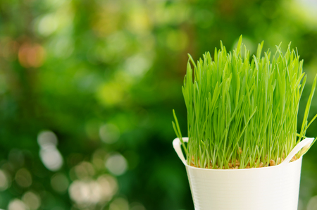 Fresh Wheat Grass for Juicing