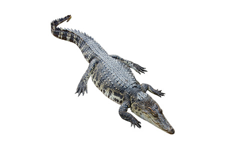 Crocodile on white background with clipping path. photo