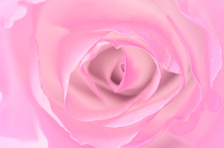 A close up macro shot of a pink rose photo