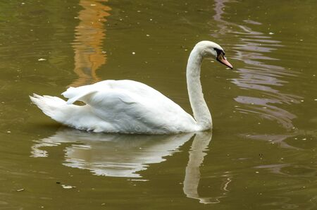 swan: White swans on the water. Stock Photo
