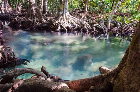 Swamp forest with root and flow water in Krabi Thailand. Tha pom mangrove forest