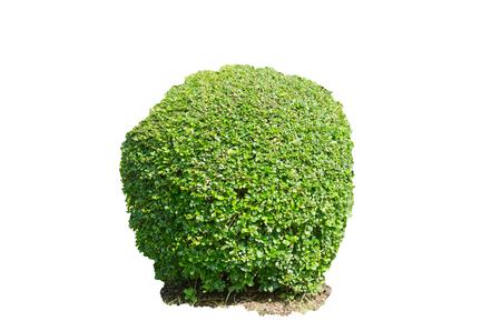 Green bush isolated on white background Stock Photo