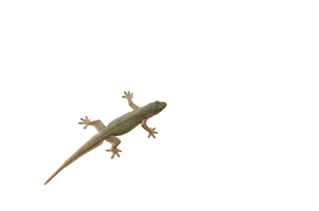 Lizard on a white background.