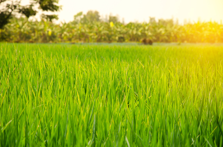 Green rice field at sunrise Banque d'images