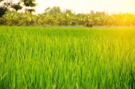 Green rice field at sunrise Stock Photo