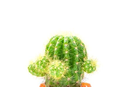 cactus isolated on the white background.