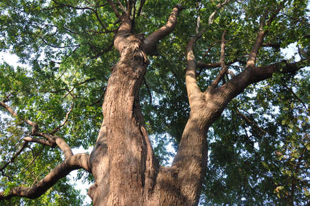 banyan: Banyan Tree