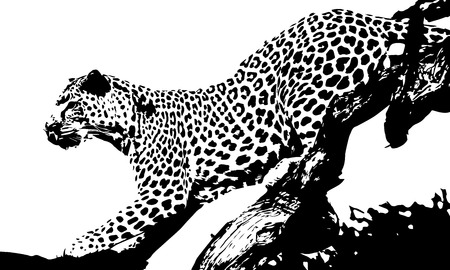 panthera: Black and white vector sketch of a leopards illustration