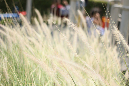 scrub grass: Abstract background blurted and flower grass, field sunlight and rim light. Stock Photo