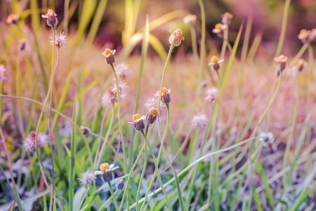 scrub grass: Summer flowering grass in June sunshine ,blurted and flower grass, field sunlight and rim light.