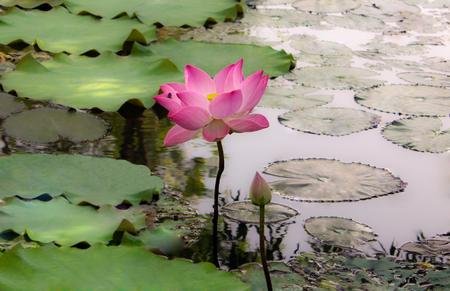 lilia: lotus flower