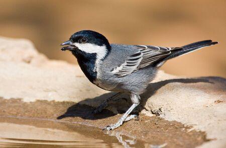 ashy: Ashy Tit drinking water from a birdbath