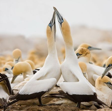 Cape Gannet Couple greeting Stock Photo - 6274074