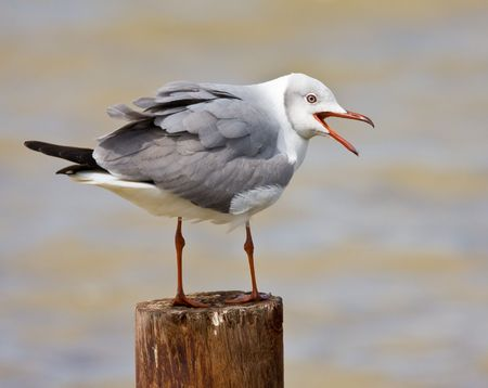 Grey-headed Gull calling from his perch Stock Photo - 6274070