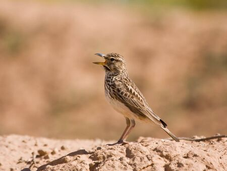 fro: Large Billed Lark calling fro a rock Stock Photo