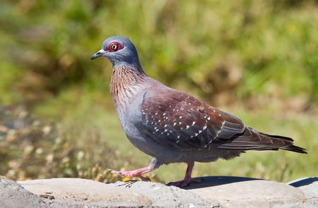 speckle: Speckle Pigeon