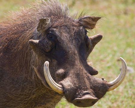 herbivore: Portrait of a Warthog