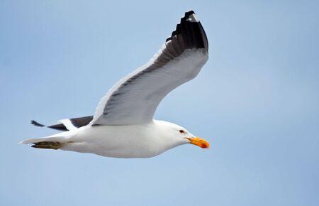 Cape gull flying against the blue sky
