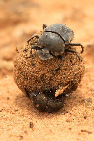 dung: Dung Beetles on ball of dung Stock Photo