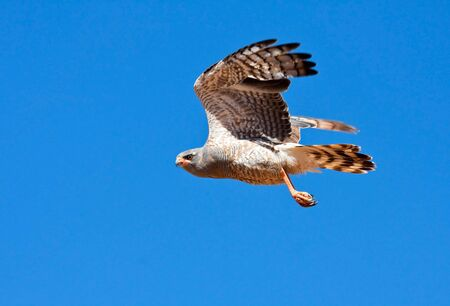 Southern Pale Chanting Goshawk flying against a blue sky to hunt for prey photo