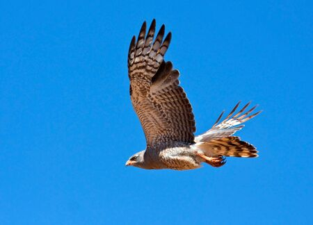 goshawk: Southern Pale Chanting Goshawk flying against a blue sky, hunting for prey Stock Photo