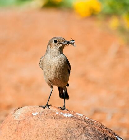 familiar: Familiar Chat sitting on a rock with an insect in its beak