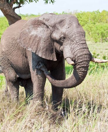 cool down: African Elephant having a mud bath to cool down in the hot sun