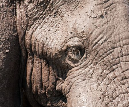 caked: African Elephant head closeup covered with mud