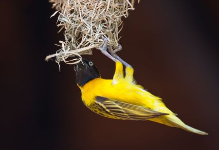 Lesser Masked Weaver hanging while building his nest photo