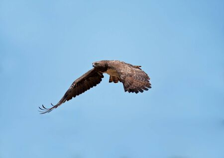 Martial Eagle swooping down to catch prey photo