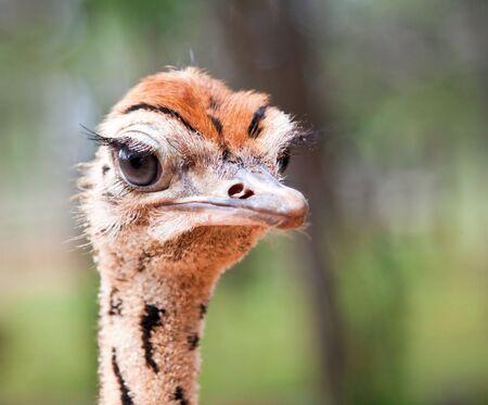 Ostrich chick portrait closeup, in the sunshine photo
