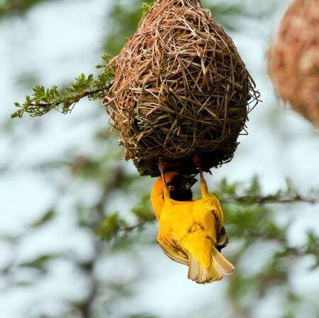weaver bird nest: Weaver building a nest in a tree by weaving grass