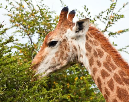 Giraffe eating from a thorn tree with a bright blue sky