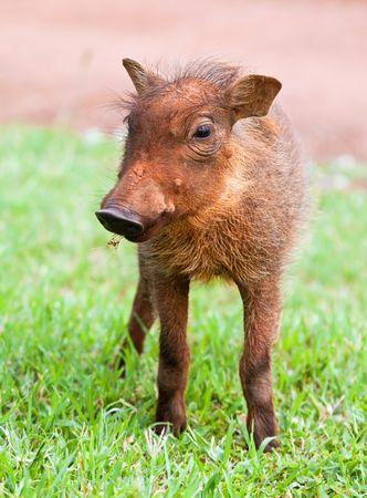 Young Warthog piglet walking on short green grass photo