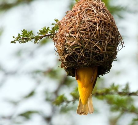 Weaver building a nest in a tree by weaving grass photo