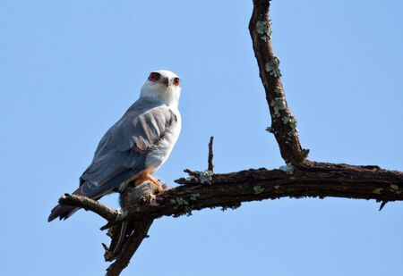 shouldered: Black Shouldered Kite sitting in a tree with prey