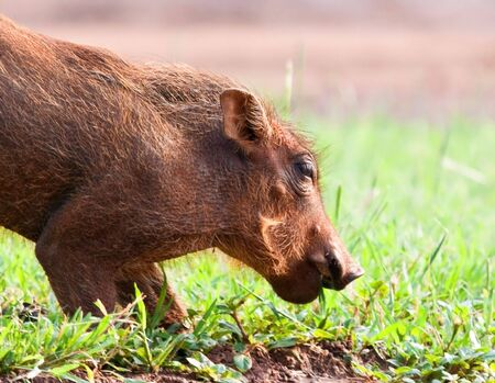 Young Warthog piglet crouching on short green grass to eat photo