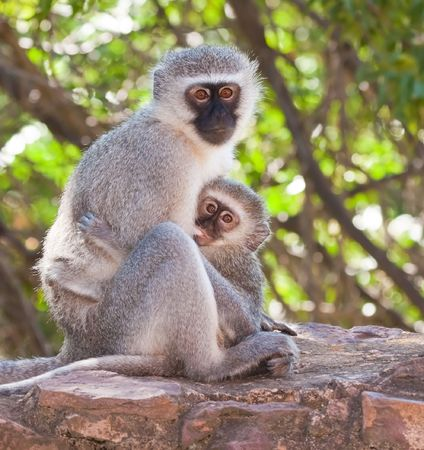 breastmilk: Vervet monkey with baby sucking on a nipple