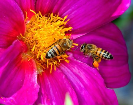 Two bees looking for pollen and nectar on a yellow and purple flower