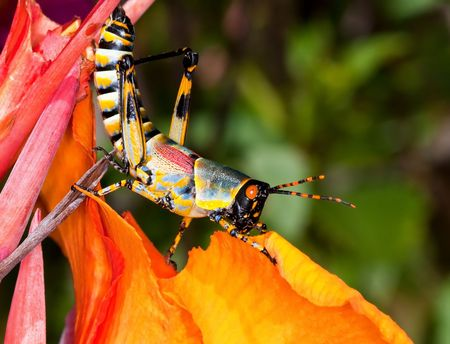 Colorful grasshopper sitting on a beautiful orange flower photo