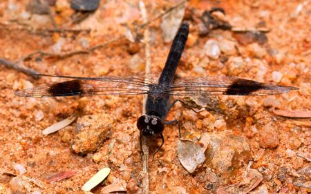pebles: Macro of black dragonfly sitting on coarse sand