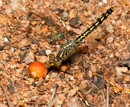 pebles: Macro of yellow and black dragonfly sitting on pebles, looking at a seed