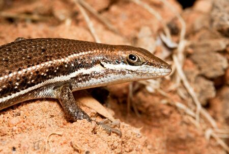 lizzard: Closeup of a brown lizzard walking on ground